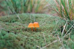Mushrooms. Two poisonous mushrooms in the meadow Stock Photo