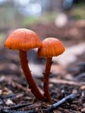 Mushrooms. Small Orange Mushrooms on the forest floor, Baranduda Range, Australia stock photography