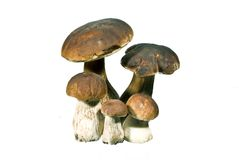 Mushrooms. Family porcini mushrooms - collected in a pine forest Stock Photo