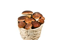Mushrooms. Family porcini mushrooms - collected in a pine forest Stock Images