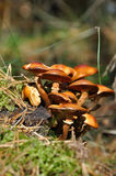 Mushrooms. Photo of poison mushrooms in forest stock photography