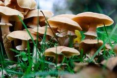 Mushrooms. Group of mushrooms in Genoa Royalty Free Stock Photography