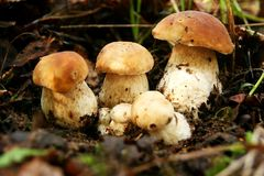 Mushrooms. Cluster of wild growing mushrooms Stock Images