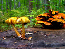 Mushrooms. Yellow and orange mushrooms on a log stock photos