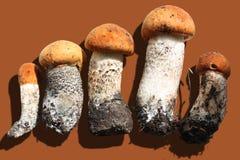 Mushrooms. Fresh aspen mushrooms  on brown background Royalty Free Stock Photo