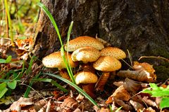 Mushrooms. Agaric mushrooms grow on trees Royalty Free Stock Images