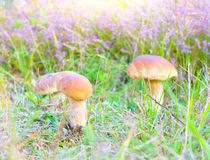 Mushrooms. In the summer forest stock images