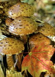 Mushrooms. And maple leaf in forest stock photography