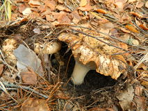 Mushrooms. Milk mushrooms in an autumn wood stock photography