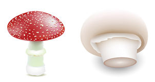 Mushrooms. Two fungi as isolated vector on white background Stock Images