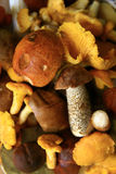 Mushrooms. Lots of mushrooms: Cantharellus, Leccinum, Suillus, Xerocomus Royalty Free Stock Image