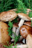 Mushrooms Royalty Free Stock Photos