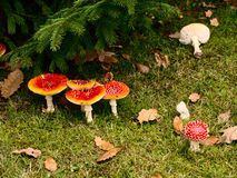 Mushrooms. Red poisonous mushrooms in the forest Royalty Free Stock Image