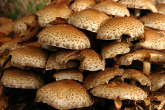 Mushrooms. Bunch of white-brown mushrooms in a forest Stock Photos