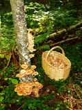 Mushrooms 7. Honey fungus mushrooms in a dark forest on a trunk with a basket near it Royalty Free Stock Photography