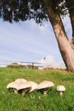 Mushrooms. Edible mushrooms growing in a green meadow on farmland royalty free stock images