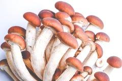 Mushrooms - agrocybe aegerita Royalty Free Stock Photography