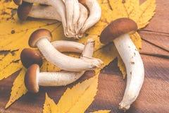 Mushrooms - agrocybe aegerita Stock Photos