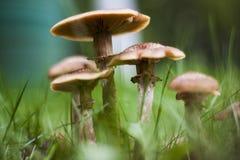 Mushrooms armillaria mellea Stock Images