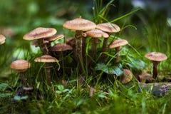 Mushrooms armillaria mellea Stock Photos