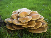 Mushrooms Armillaria Mellea or Honey-mushrooms Stock Image