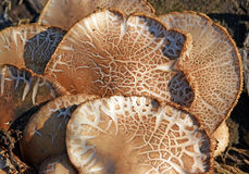 The mushrooms Royalty Free Stock Photos