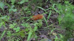 Mushrooms aspen forest in the grass. Mushrooms aspen forest in summer stock video footage