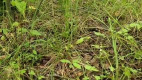 Mushrooms aspen forest in the grass. Mushrooms aspen forest in summer stock footage