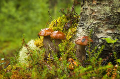 Mushrooms aspen. Orange-cap boletus. Royalty Free Stock Image