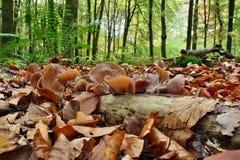 Mushrooms Auricularia auricula-judae Royalty Free Stock Photos