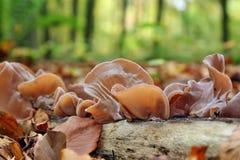 Mushrooms Auricularia auricula-judae Stock Photos
