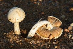 Mushrooms in autumn Royalty Free Stock Image