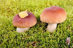 Mushrooms in autumn forest Royalty Free Stock Photography