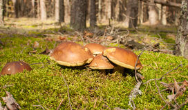 Mushrooms. In the autumn forest royalty free stock photography