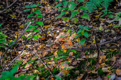 Autumn forest eatable mushrooms close-up. Mushrooms in autumn forest: boletus, Abaca close-up Stock Photos
