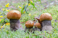 Mushrooms in autumn forest Stock Image