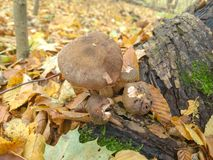 Mushrooms in the autumn forest royalty free stock photos