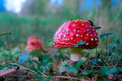 Mushrooms in the autumn forest, fly agaric royalty free stock photos
