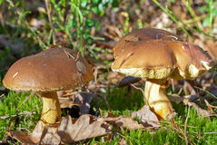 Mushrooms in the autumn forest Stock Image