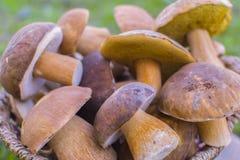 Mushrooms cep Stock Photography