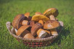 Mushrooms in basket. Autumn & good crop, ushrooms cep Stock Image