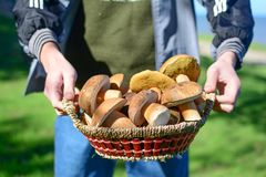 Mushrooms in basket. Autumn & good crop Royalty Free Stock Image