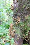 Mushrooms autumn honey agarics Royalty Free Stock Images