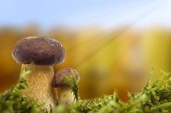 Mushrooms autumn scene. stock photos