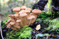 Mushrooms. Autumn time in the forest and mushrooms Royalty Free Stock Image
