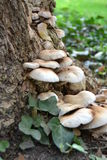 Mushrooms. Bark of tree with fungal growth on natural environment Royalty Free Stock Photo