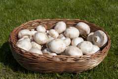 Mushrooms in a basket. Fresh mushrooms collected in a wicker basket Royalty Free Stock Photography