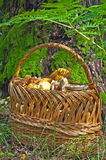 Mushrooms in a basket. In a forest Royalty Free Stock Photo