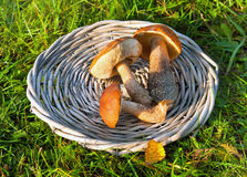 Mushrooms in a basket royalty free stock photography