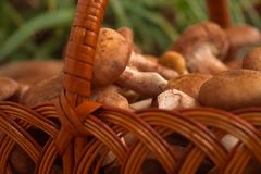Mushrooms in the basket on the background of greenery. stock image